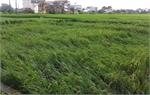 Bắc Giang: Nhiều diện tích lúa, hoa màu bị hư hại do ảnh hưởng của bão số 3