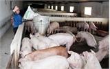 Hội chăn nuôi lợn sạch ở Tân Yên