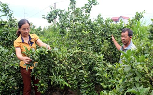 Thời điểm, ăn quả, địa bàn, huyện Lục Ngạn, Bắc Giang, thu hoạch, bệnh vàng lá vi rút, bệnh gân xanh, lá vàng