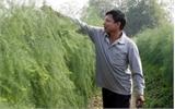 Măng tây xanh - cây trồng cho thu nhập cao
