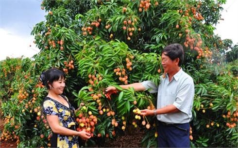 Bắc Giang: Thành lập 5 nhóm chỉ đạo sản xuất vải thiều xuất khẩu