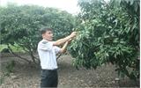 Lục Ngạn: Diện tích vải thiều VietGAP tăng