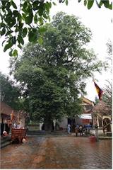 Cây Thị cổ thụ hơn 300 tuổi ở Bắc Giang được công nhận cây Di sản Việt Nam