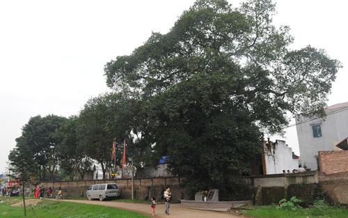Hai cây ở xã Mai Đình được công nhận cây Di sản Việt Nam