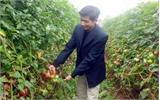 Nhân rộng diện tích cà chua cao sản