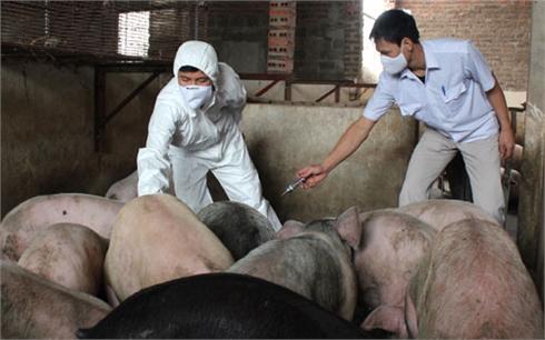 Hộ chăn nuôi chủ quan, trông chờ vắc-xin hỗ trợ