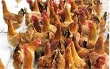 Thử nghiệm nuôi gà sinh sản an toàn sinh học