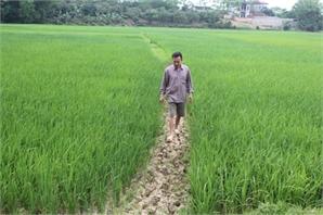Nắng nóng kéo dài: Hàng nghìn ha lúa đang... khát
