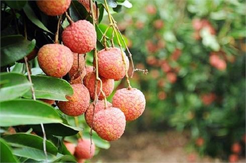 Ô-xtrây-li-a chính thức cho phép nhập khẩu trái vải tươi của Việt Nam