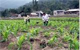 Trồng thử nghiệm ngô lai trên đất lúa kém hiệu quả