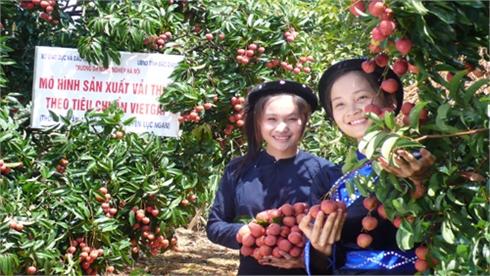 Ngày 10-6, vải thiều Lục Ngạn sẽ xuất lô đầu tiên đi Úc