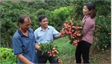 Hôm nay (30-5), lô vải tươi đầu tiên của Việt Nam sẽ xuất đi Mỹ