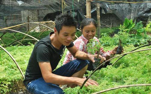 Bắc Giang: Giá cây đinh lăng tăng cao, vì sao?