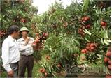 Ngày 1-7,  Hơn 86 nghìn tấn vải thiều Lục Ngạn đã được thu hoạch