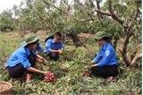 Ngày 2-7, Lục Ngạn đã thu hoạch và tiêu thụ được gần 90% sản lượng vải thiều