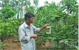 Cây trồng thất thu vì... ruồi