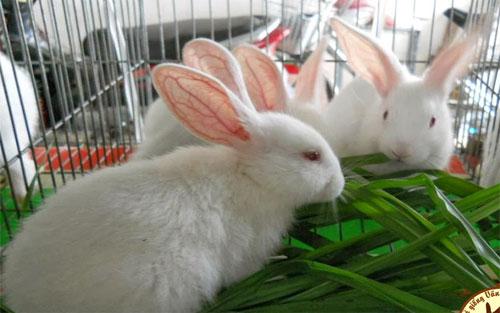 Sơn Động, hỗ trợ,  mô hình,  nuôi thỏ Newzealand