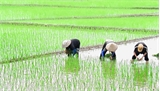Bắc Giang: Gieo cấy lại hơn 4,8 nghìn ha lúa, rau màu