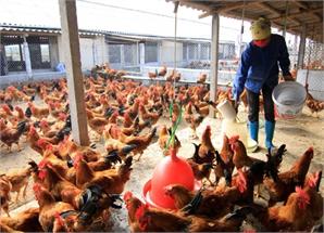 Chăn nuôi gà đối mặt khủng hoảng thừa