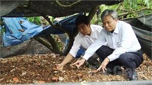 Trồng nấm linh chi dưới tán vải thiều: Thêm cơ hội làm giàu cho người trồng vải Bắc Giang