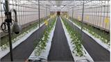 """Đầu năm mới, """"tướng"""" FPT trải lòng về việc bắt tay Fujitsu… trồng rau"""