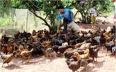 Xây dựng cơ sở chăn nuôi gà an toàn tại Yên Thế
