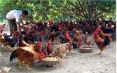 Tổng đàn gia cầm của huyện Yên Thế đạt 4,5 triệu con