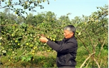 Tân Yên: Trồng thử nghiệm 3 giống táo mới