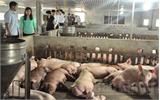 Hướng đi mới từ nuôi lợn sạch ở Tân Yên
