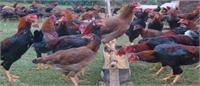 Tiếp nhận giống gà mới