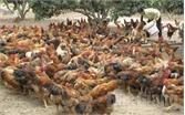 Tin vui cho người chăn nuôi ở Yên Thế: Giá gà tăng 10 nghìn đồng/1kg