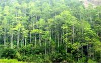 Phát triển rừng sản xuất còn nhiều khó khăn