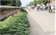 Trồng rau ven đường phố: Xanh nhưng không sạch
