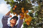 Nông sản Bắc Giang rộng đường xuất khẩu