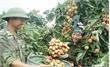 Lục Nam: Vải thiều sớm ước đạt 10-12 tấn/ha