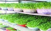 Sản xuất rau mầm an toàn