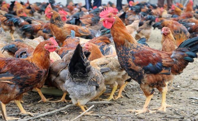 Chọn tạo giống gà  đặc trưng của Yên Thế