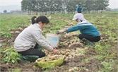 Yên Dũng: 1,8 tỷ đồng hỗ trợ sản xuất nông nghiệp hàng hóa