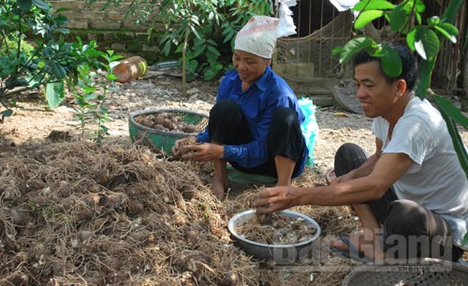 Lục Nam: Khoai sọ cho thu gần 150 triệu đồng/ha