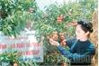 Lục Ngạn: Cơ bản thu hoạch xong và tiêu thụ gần 92 nghìn tấn vải thiều
