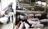 Bảo vệ môi trường trong chăn nuôi lợn: Nhiều chủ trang trại phớt lờ