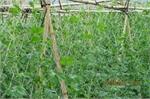 Hiệp Hòa: Hỗ trợ trồng dưa chuột trái vụ an toàn