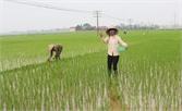 Quan tâm phòng trừ sâu, bệnh trên lúa mùa từ đầu vụ