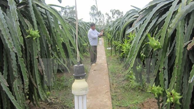 Cách làm,  tiết kiệm điện, người trồng, thanh long