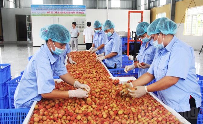 Sơ chế, đóng gói vải thiều trước khi xuất khẩu tại HTX Sản xuất nông sản và thương mại Hồng Giang (Lục Ngạn).