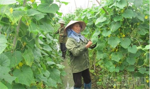 Sản xuất rau an toàn ở Lục Nam: Thế mạnh và những vấn đề đặt ra