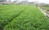 Hiệp Hòa: 20 ha sản xuất rau cần an toàn