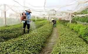 """Từ sản xuất đến sử dụng thực phẩm an toàn: Vẫn khó """"sâu rễ, bền gốc"""" - Kỳ 1:  Quanh quẩn tìm đầu ra"""