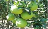 Lục Ngạn: Xây dựng mô hình trồng cây ăn quả quy trình an toàn