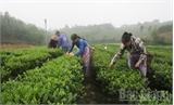 Dự kiến tổng sản lượng chè búp tươi của huyện Yên Thế đạt hơn 4 nghìn tấn